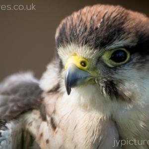 Lanner-Falcon