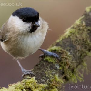 MARSH TIT PHOTOGRAPHIC PRINT