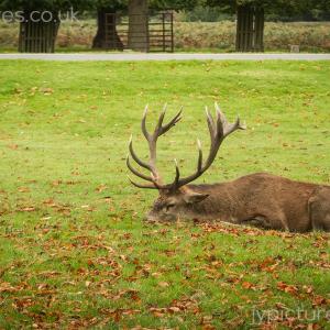 Red-Deer