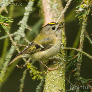 GOLDCREST PHOTOGRAPHIC PRINT